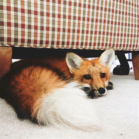 meet juniper the pet fox who s basically an orange dog