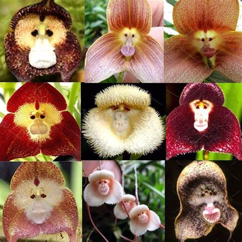 Affen Orchidee Kaufen by 10pcs Monkey Orchid Seeds Beautiful Plant Flower