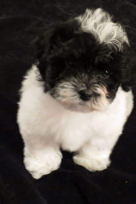 havanese puppy names 17 best images about havanese on puppys cuba and sheds