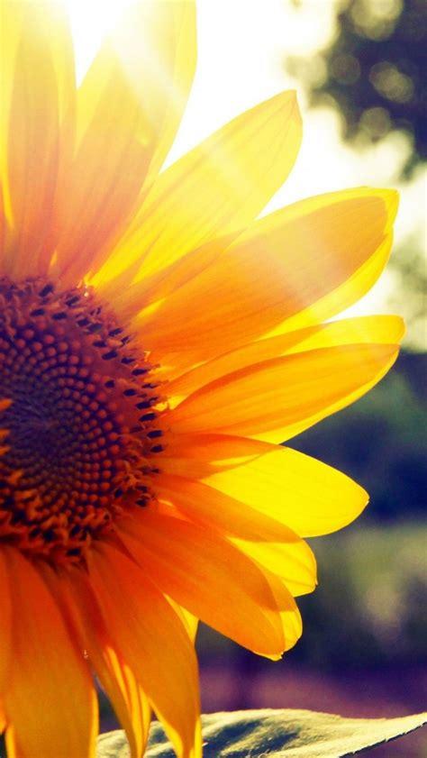 wallpaper for iphone sunflower sunflower iphone beautiful wallpapers 10200 hd
