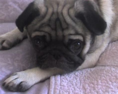 pug with itchy skin skin allergies in dogs home remedies to try before seeing your vet pethelpful