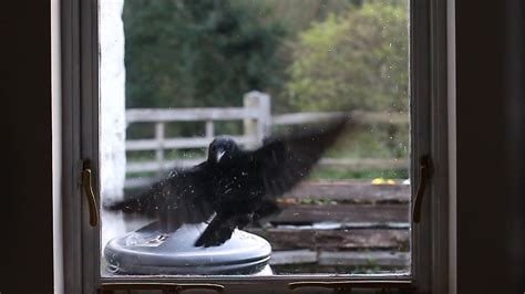 crow attacking window why youtube