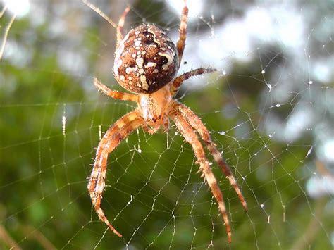 mittel gegen spinnen mittel gegen spinnen haus spinnen tiere arten giftige bek