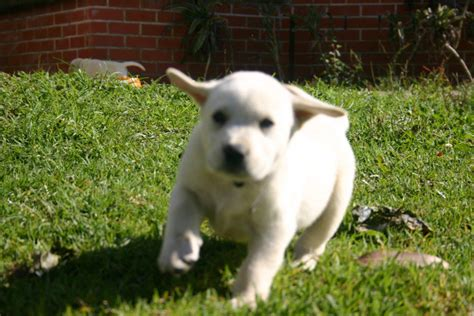Puppies Giveaway Brisbane - for sale labrador x golden retriever pups