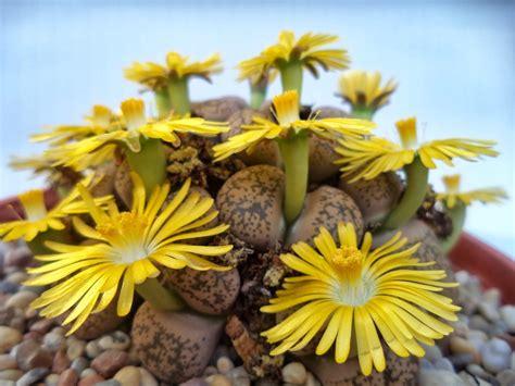 piante con fiori piante grasse con fiori piante grasse