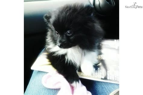 panda looking pomeranian for sale panda puppies for sale breeds picture