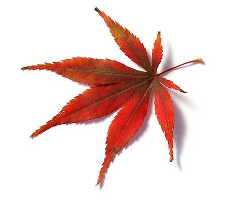 quot red leaf from japanese acer maple tree quot by camille wesser