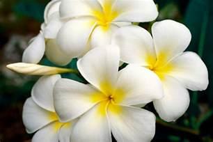 Lei Hawaiian Flowers - white plumeria hawaiian lei flower fine art photography canvas