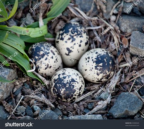 killdeer birds lay their eggs gravel stock photo 53389345