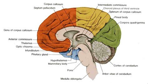 midsagittal section of the brain sagittal plane of brain pictures to pin on pinterest