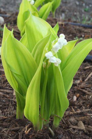 slipper plants for sale convallaria majalis fernwood s golden slippers fernwood