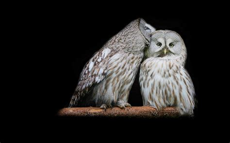 owl lover owl couple love nice photos 540x337 litle pups