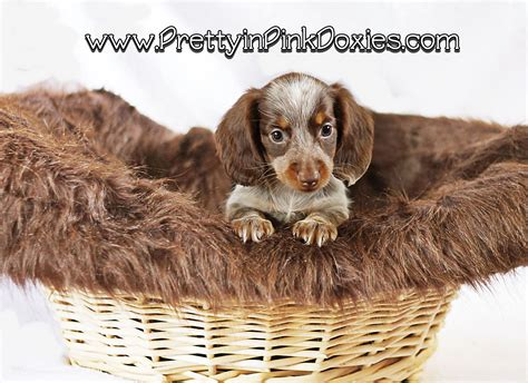 golden retriever puppies pensacola miniature dachshund puppies for sale pensacola fl dogs our friends photo