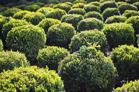 wann buchsbaum pflanzen buchsbaum vermehren stecklinge nutzen gartenpflanzen