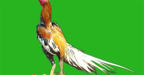Obat Mata Kecil Warna Kuning ayam bangkok wiring kuning peringkat pertama dalam