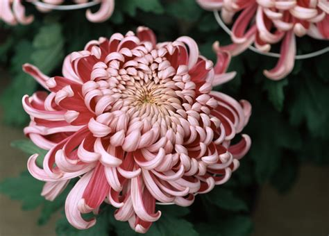 chrysanthemum colors the meaning 8 different types of popular funeral