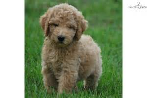 Non Shedding Dogs by Goldendoodle Puppy For Sale Near West Palm Florida