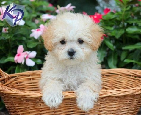 maltipoo puppies for sale in utah 138 best maltipoo puppies for sale images on