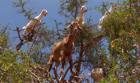 imagenes de arboles otoñales 191 por qu 233 las cabras se suben a los 225 rboles