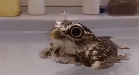 is somebody gonna tell this baby owl it s not a duck video