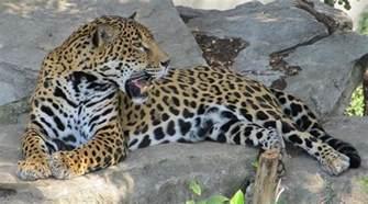 Jaguar Meaning Jaguar Spirit Animal Symbolism And Meaning