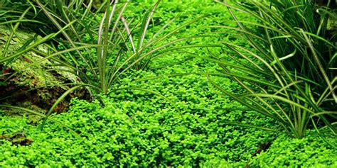 Hemianthus Callitrichoides Cuba hemianthus callitrichoides cuba tropica aquarium plants