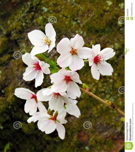 fiori di ciliegia primo piano dei fiori di ciliegia fotografia stock