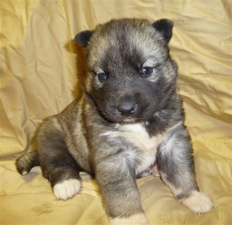 agouti husky puppy the gallery for gt agouti husky puppies for sale