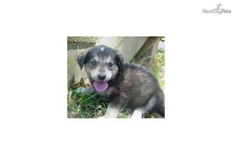 golden retriever cross husky puppies for sale meet simon a golden retriever puppy for sale for 325 simon siberian husky