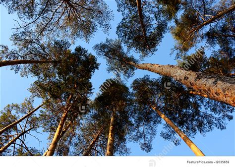 picture of blue sky and pine trees