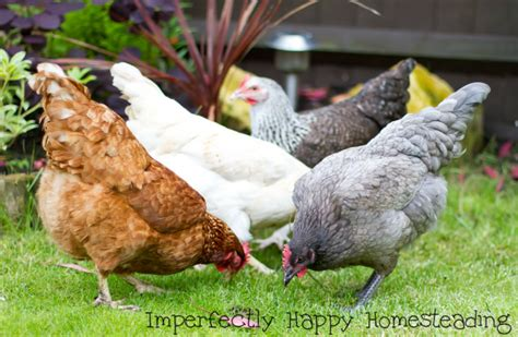 Where To Buy Backyard Chickens Secret Backyard Chickens How To Keep A Stealth Coop