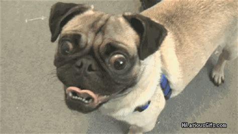 trek pug creepy pug hilariousgifs