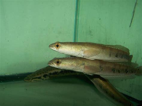 pesce testa di serpente pesce della cobra della serpente testa immagine stock