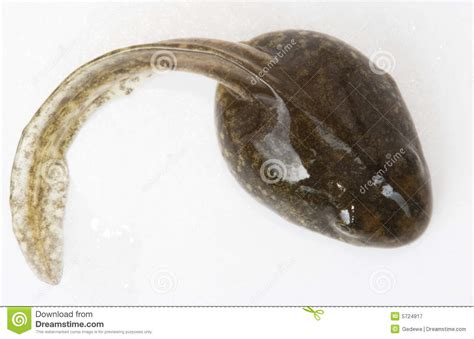 Tadpole Royalty Free Stock Photography - Image: 5724917