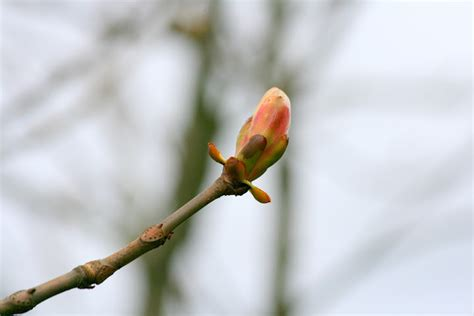 tree watching horse chestnut buds starting to open rosemary s blog