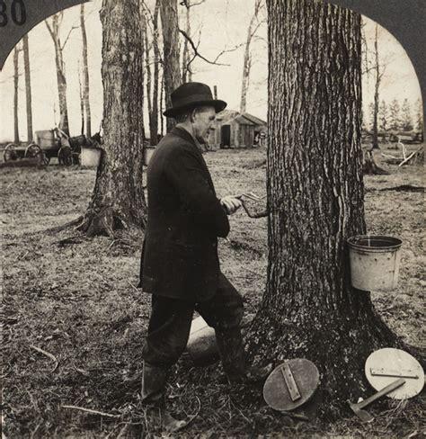 maple tree history wny history