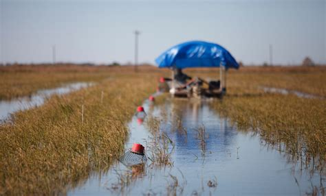row your boat weed version in louisiana farmers use rice fields as crayfish ponds