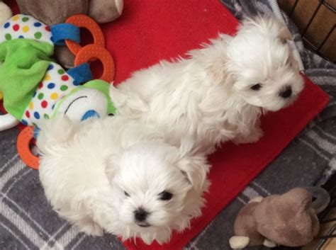 maltese puppies colorado and maltese puppies available colorado springs offer colorado springs pets