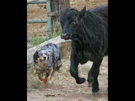 australian shepherd vs australian cattle the australian cattle doovi