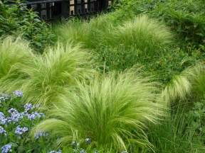 plant of the week mexican feather grass the high line blog
