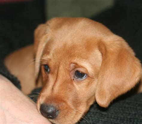 how much exercise for a puppy labrador puppy exercise how much is much the labrador site