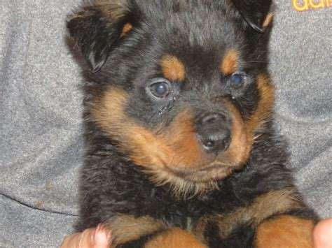 akc rottweiler puppies for sale in michigan rottweiler