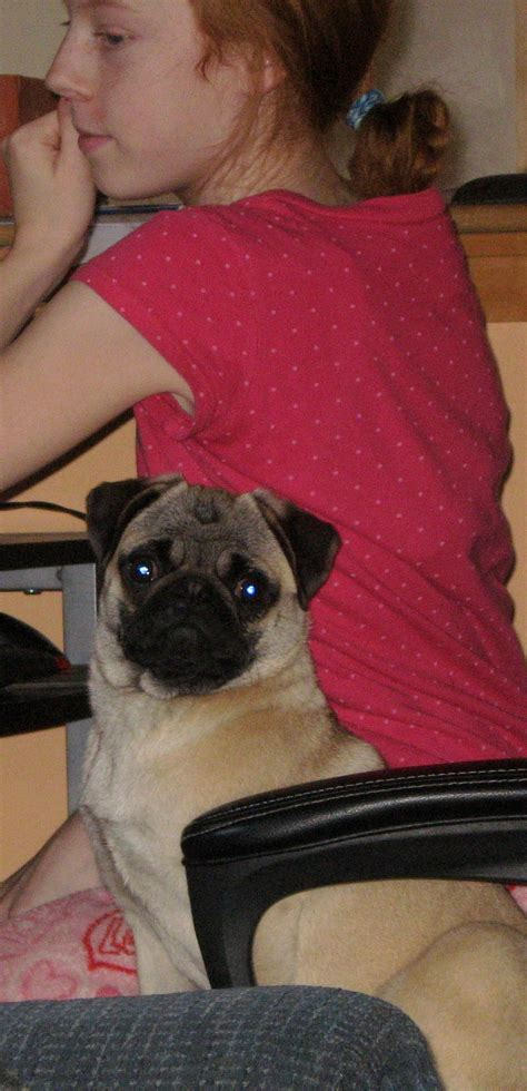 pugs that don t grow kayjo pugs