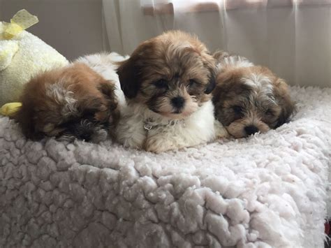 zuchon puppies for sale zuchon puppies bichon frise x shihtzu st columb cornwall pets4homes