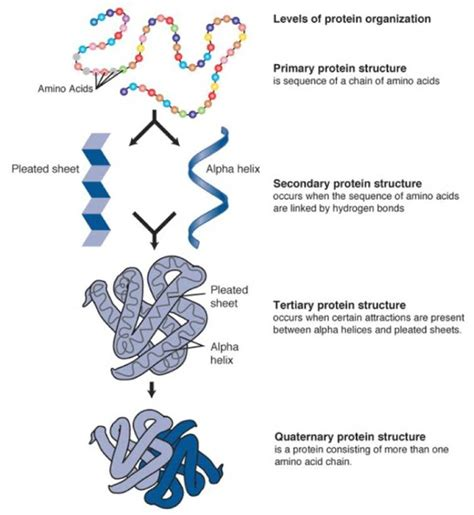 protein molecular structure difference between primary and secondary structure of