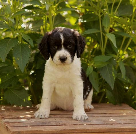 puppy for sale michigan northern michigan springer spaniels dogs puppies for sale breeds picture
