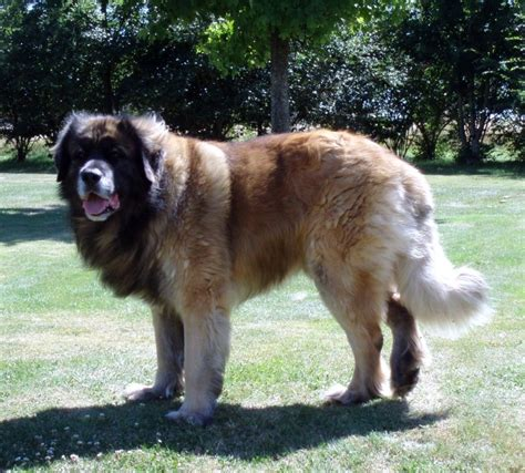 leonberger puppies mn leonberger dogforum net forums and community