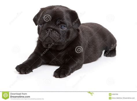 pug no pug preto no fundo branco foto de stock imagem 4055780