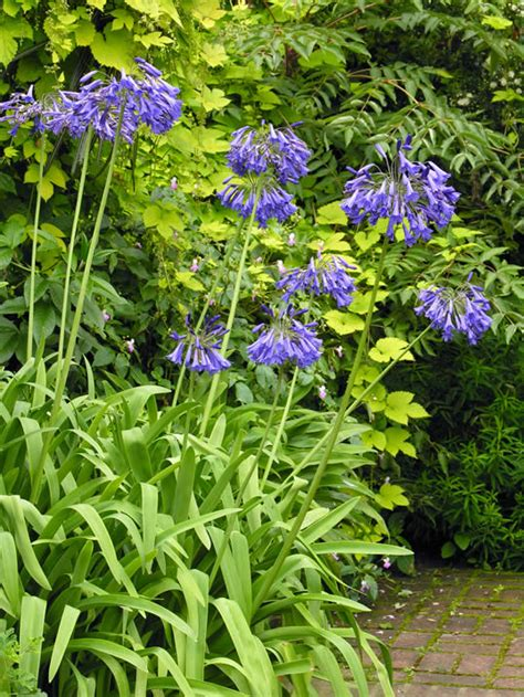 Gardening Zones Uk - african lily agapanthus my climate change garden