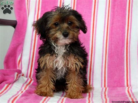 yorkie for sale in pa 17 best images about loving designer puppies for sale on morkie puppies